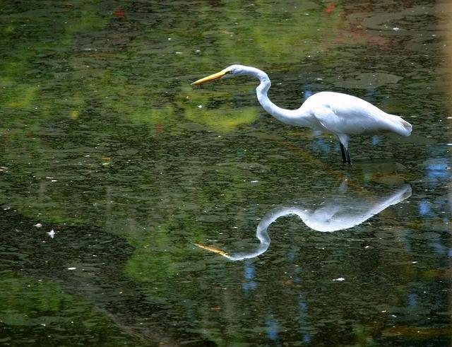 great-white-egret-58421_640
