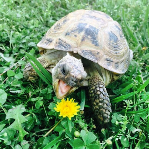 Dumbledore the Tortoise loves Dandelions